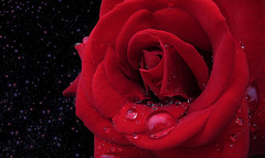 IMG_2681 on and on the rain will fall like tears from the stars (pinktigger) Tags: red nature rose floiwer mygearandme mygearandmepremium mygearandmebronze mygearandmesilver mygearandmegold mygearandmeplatinum mygearandmediamond