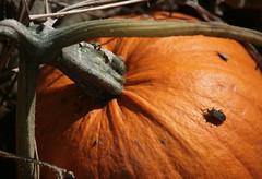 Pumpkin Bug (peterkelly) Tags: orange ontario canada digital garden insect pumpkin guelph beetle northamerica sunlit ignatiusjesuitcentreofguelph