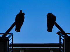 Pigeon Silhouettes (Man.Bear.Pig) Tags: blue shadow sky bird birds animal animals silhouette three tiere pigeon himmel blau outline vgel taube schatten tier vogel drei tauben umris umriss birf
