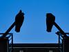 Pigeon Silhouettes (Sascha Stütz) Tags: blue shadow sky bird birds animal animals silhouette three tiere pigeon himmel blau outline vögel taube schatten tier vogel drei tauben umris umriss birf
