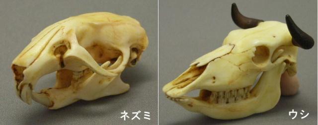 海洋堂 - 膠囊Q 博物館 十二生肖頭骨