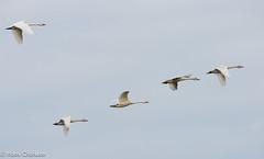 Mindre sngsvan (Cygnus columbianus) (Hans Olofsson) Tags: birds swan aves migration fligth cygnuscolumbianus bewicksswan mindresngsvan tundrasvan