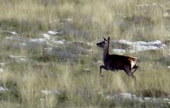 tableau ... de chasse (b.four) Tags: deer cerva alpesmaritimes biche ruby3 calern rubyphotographer mygearandme mygearandmepremium mygearandmebronze mygearandmesilver mygearandmegold mygearandmeplatinum ruby10