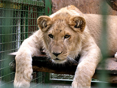 feeling inside (tamasmatusik) Tags: g9 oroszlán ketrec cage animal pécs zoo younglion lion canon animals