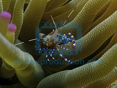 2007-05 HERBLAND MARTINIQUE SPOTTED CLEANER SHRIMP PERICLIMENES YUCATANICUS 02170