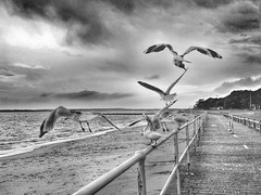 More rain on the way [Explore Nov 22, 2013 #488] (Mariasme) Tags: blackandwhite seagulls motion beach monochrome inflight path iphone matchpointwinner friendlychallenges fotocompetition fotocompetitionbronze herowinner ultraherowinner storybookwinner pregamewinner gamesweepwinner storybookttwwinner favescontestfavored snapseed uploaded:by=flickrmobile flickriosapp:filter=nofilter mpt395