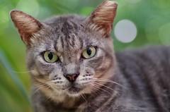 Look Into My Eyes (Xcaret Cat #1) (Doundounba) Tags: animal cat mexico playadelcarmen mexique xcaret rivieramaya 272e k01 xcaretpark tamronspdi90mmf28