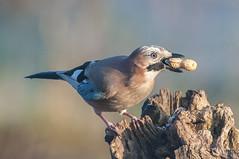 _DSC9067 (Alvise Dorigo) Tags: fauna natura uccelli animali oasi ghiandaia oasicervara