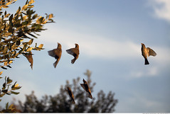 313 - Synchronized! (Ata Foto Grup) Tags: sky cloud tree bird birds clouds fly sparrow bulutlar synchronized bulut kuş ağaç synchronize yaprak senkron gökyüüz senronize yüksekenstantane highspeedinstantaneous