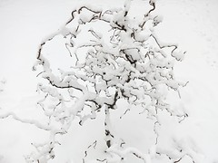 Snowy corkscrew hazel (Ruth and Dave) Tags: snow tree monochrome weather vancouver garden lovely1 branches mountpleasant curly whiteonwhite corkscrewhazel weatherphotography