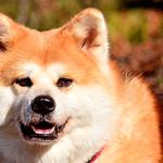 Akita Dog, Hana (Female, 5-year-old) / 秋田犬のハナ thumbnail