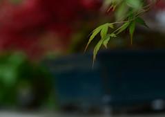 DSC_9646a (Fransois) Tags: leaves japanese maple dof montral zen bonsai botanicalgarden feuilles jardinbotanique minimaliste bonza boheh rablejaponais