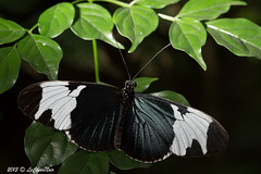 B31A5925 (LeChienNoir , Into the light ;)) Tags: netherlands canon butterfly nederland vlinders vlinder luttelgeest 100mm28macro orchideeenhoeve canonnl lechiennoir 5dmark3 lechiennoirnl