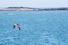 _DSC6286 Brown Pelican Pelicano Cafe (ChanHawkins) Tags: am galapagos april tagus brown cove cafe 12 pelican pelicano isabellacaleta fri