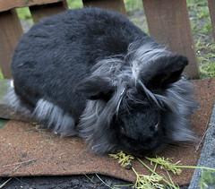 betty (Meg Halton) Tags: rescue rabbit bunny animal photography guinea rabbits lapin littlest lapins bunnyrabbit 400d meghalton
