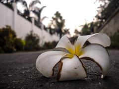 Araliya Flower (Aadil Chouji Schiffer) Tags: flower macro araliya
