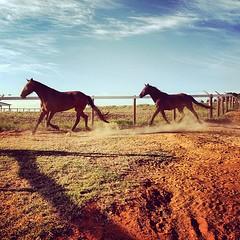2013-08-08_1375960818 (ViniciusZamai) Tags: brazil horses horse brasil square cowboy saopaulo country running squareformat dust cavalo birigui haras instagram instagramapp