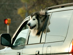 Traveling companion (tommaync) Tags: dog pet eye window car animal mouth nose mirror nc nikon head northcarolina traveling february companion chapelhill snout 2014 d40
