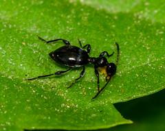 DSC_6954-14 (jack_246) Tags: beetle beetles oman animalia arthropoda coleoptera salalah insecta linnaeus 1758 pterygota dhofar neoptera endopterygota