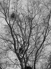 Extend (trm42) Tags: autumn winter blackandwhite bw silhouette suomi finland koivu helsinki branches birch talvi mustavalko mv syksy uusimaa oksat