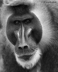 Portrait......The Stare of a Baboon!........D800 (Larry Daugherty ~ Very Slow for several days :-)) Tags: nature zoo eyes nikon louisiana neworleans ngc stare baboon mammalia primates d800 audubonzoo papio chordata anamalia cercopithecidae cercopithecinae oldworldmonkey nikond800 africanbaboon saariysqualitypictures baboonimage papionini mygearandme mygearandmepremium mygearandmebronze baboonportrait drillbaboon photographyforrecreationeliteclub nikon80400mmlens sunrays5 nonhominoid omniovrous
