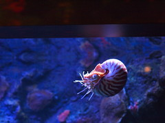 ocean sea animal animals lens 50mm aquarium bay monterey marine heart shell nopeople olympus exhibit aquatic zuiko undersea om1 mend saltwater nautilus tentacles mollusk coiled mollusks ep2 f12 pelagic cephalopods allmanual molloscs