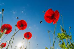 Coquelicots et bourdons (Philippe POUVREAU) Tags: garden bees jardin bumblebee poppy poppies printemps insecte coquelicot 2014 bourdon loireatlantique saintbrévin paysderetz canon7d saintbrevinlespins
