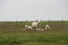 family (im_fluss) Tags: sheep northsea lambs nordsee schafe hallig lmmer lamm grde lmmchen