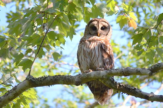 Barred Owl - GORGEOUS LADY