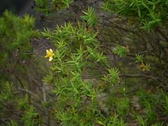Avaram-kola (Malayalam:  ) (dinesh_valke) Tags: shrub hypericaceae hypericummysurense stjohnswortfamily hypericumnorysca noryscamyrtifolia noryscamysurensis avaramkola avaran chinnadavare hayperi mysorehypericum mysorestjohnswort
