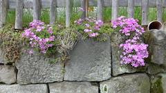 P1000827 (JohannFFM) Tags: am steine schnheit wegesrand blten geschmack dekor begrenzung bewachsene