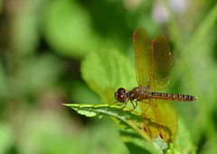 Another poser (KsCattails) Tags: flowers male nature public gardens dragonfly kansascity missouri eastern powellgardens kingsville amberwing