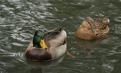 She will follow Him (wpgroy) Tags: duck