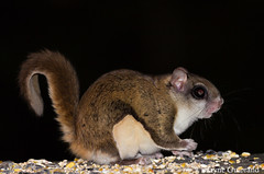 Flying squirrel (nature55) Tags: mercer wisconsin flyingsquirrel squirrel mammal animal wildlife northwoods