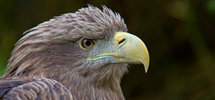 Sea Eagle - Seeadler (pe_ha45) Tags: greifvogel birdofprey àguiarabalva aiglebarbu aiguilamarina pigargoeuropeo haliaeetusalbicilla whitetailedeagle grandaigledemer seeadler seaeagle