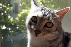 Sirius (fedenew1983) Tags: sirius cat gatto animal occhioni