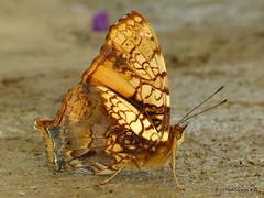 Orange admiral or orange mapwing, Hypanartia lethe (Ecuador Megadiverso) Tags: birdwatcherslodge butterfly hypanartialethe mindo nymphalidae orangeadmiral orangemapwing andreaskay ecuador