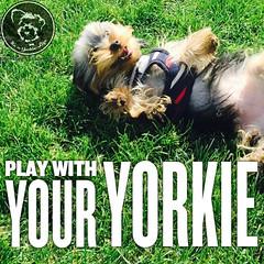 Anytime baby (itsayorkielife) Tags: yorkiememe yorkie yorkshireterrier quote