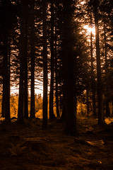 Through the Trees (steelegbr) Tags: blackmuirwood highland highlands scotland strathpeffer uk afternoon autumn branches contrast forest orange season shadow trees woods
