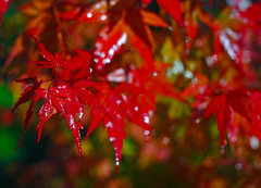 Japanese Maple (racerx6948) Tags: shiny japanesemaple pacificnorthwest autumn bokeh tree leaves