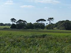 P1120031 (jrcollman) Tags: places plants pplant europeincldgcanaries pinus covehithe phragmitesaustralis britishisles suffolk