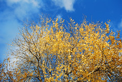 Blue and yellow (DameBoudicca) Tags: sweden sverige schweden suecia sude svezia  vrnamo autumn fall hst herbst otoo automne autunno   tree trd baum albero rbol arbre  sky himmel cielo ciel  blue bl blau azul bleue orablu blu  yellow gul gelb amarillo jaune giallo  foliage lvverk bltter laub fogliame follaje