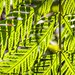 """Fern Pattern • <a style=""""font-size:0.8em;"""" href=""""http://www.flickr.com/photos/109122533@N07/30230728520/"""" target=""""_blank"""">View on Flickr</a>"""