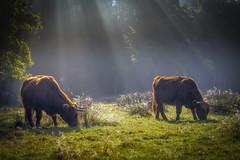 Highlanders in the mist (Shots in the dark) Tags: mist rays fog cattle highlanders mood sun light nikon sunlight