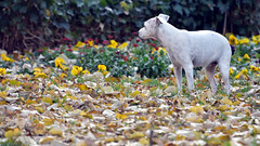 Autumn (gps1941) Tags: fallen leaves dall november dog animal pet