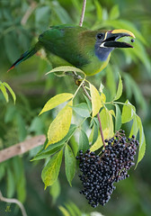 Emerald toucanet (Sandy Kroeger) Tags: d500 costa rica toucan cloud forest nikon