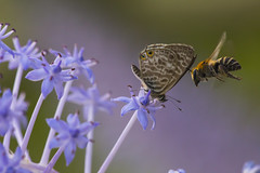 Collision (Toni P. Juan) Tags: autumm bee buterfly lampides boeticus scilla insects hmm october macro macrofotografa