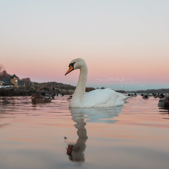 Sunset <) (Samantha Nicol Art Photography) Tags: swan scotland samantha nicol castle semple loch water bird reflections
