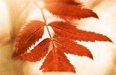 Copper Leaves (~DGH~) Tags: canada ~dgh~ 2016 albera alberta edmonon macromonday october pentaxk50 autumn backlt fall leaves macro smcpentaxdfamacro100mmf28wr