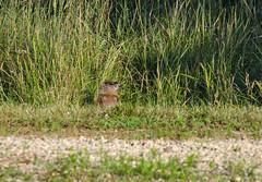 Woodchuck 1 (Christa Rittberg) Tags: woodchuck groundhog mammal minnesota creativecommons minnesotazoo